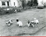 Farm yard dogs