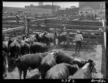 Cattle in stock-yards at Ft. Worth Livestock Exchange