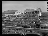 Cattle in stockyards at Ft. Worth Livestock Exchange