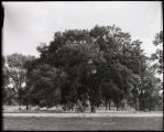 Forests - Tree, Large elm