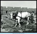 [Worker using a draft horse to build Century of Progress' Old Fort Dearborn exhibit.