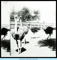 [Photograph of ostriches in a yard.