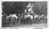 Camels on Circus Day in Macomb early 1900s